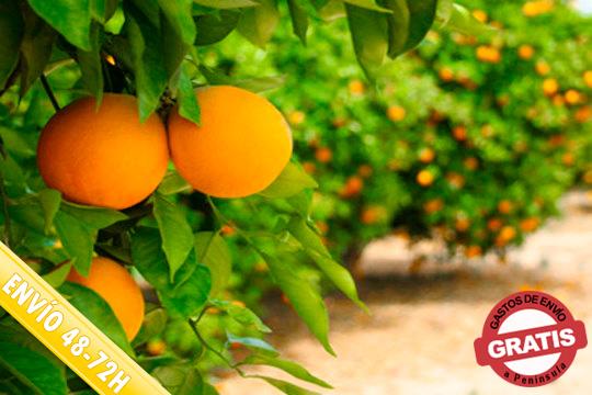 ¡Aprovecha el fin de temporada! Oferta en naranjas de Valencia de 15, 20 o 30 kilos variedad Valencia Late