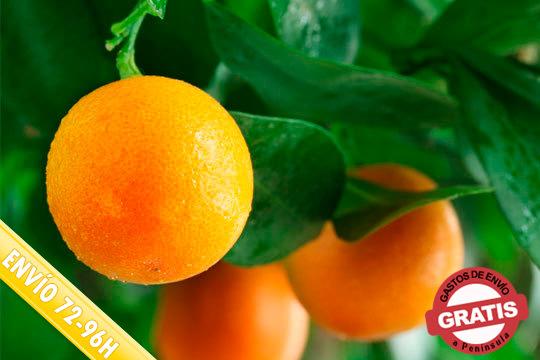 ¡Disfruta de las mejores naranjas de Valencia! Elige entre 10, 15, 20 o 30Kg de exquisitas naranjas Valencia al mejor precio